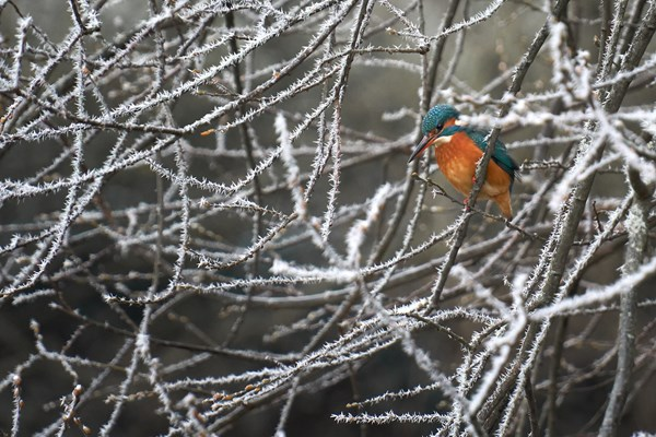 Kingfisher In The Ice